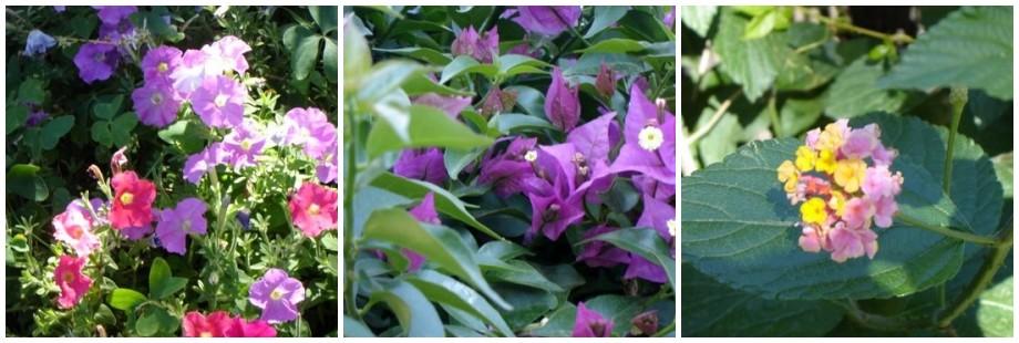 Capri Flowers