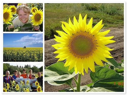 Moldova Sunflowers