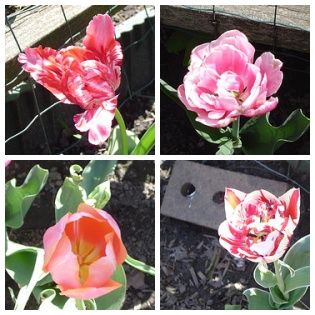 Tulips in my yard!